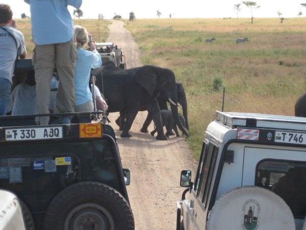 A pack of elephants passes directly in front of our vehicles